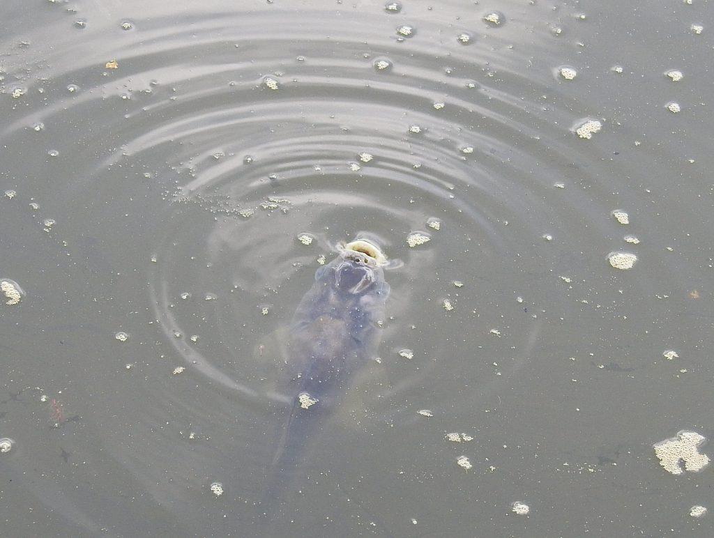 コイ科の魚
