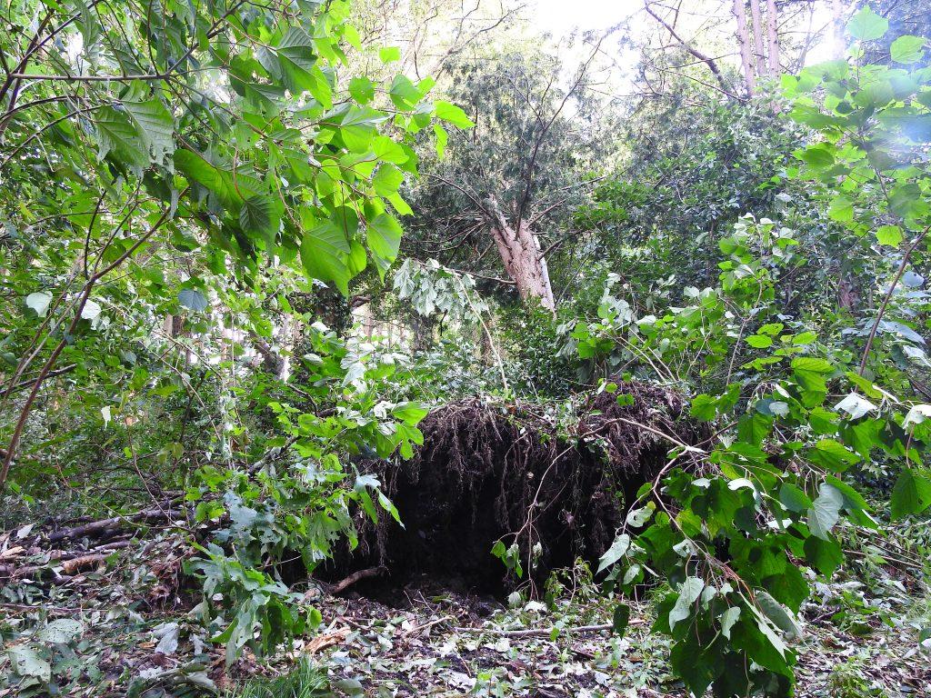 台風で倒れた樹木6