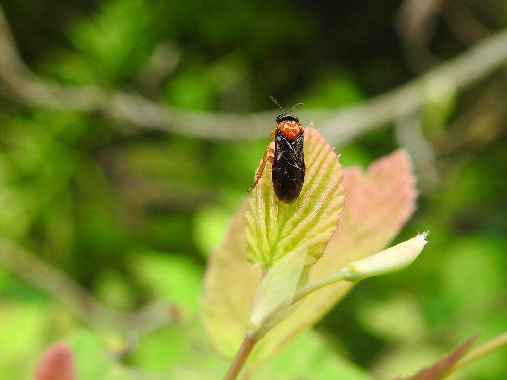 キイロハバチ