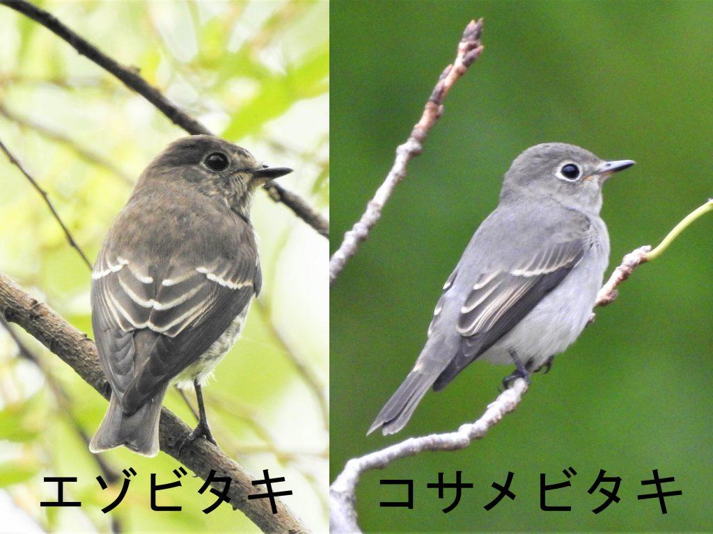 エゾビタキとコサメビタキ