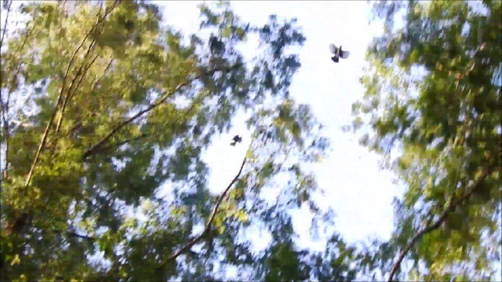 ツミ(左)に追いかけられるカケス(右)
